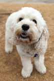 Bichon Frise Dog Out for a Walk Royalty Free Stock Photo