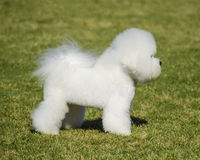 Bichon Frise dog. A profile view of a small beautiful and adorable bichon frise dog standing on the lawn and looking cheerful Stock Images