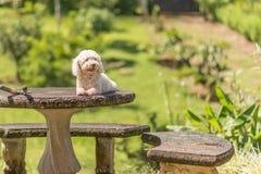 Bichon Frise dog. Resting on a concrete table stock photos