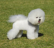 Bichon Frise dog. A small beautiful and adorable bichon frise dog standing on the lawn and looking cheerful Stock Photography