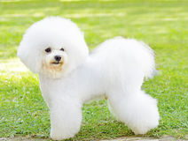 Bichon Frise dog. A small beautiful and adorable white fluffy bichon frise dog standing on the lawn and looking cheerful Stock Photography