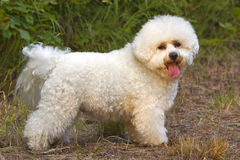 Bichon Frise Dog. Bichon Frise standing on trail, profile Royalty Free Stock Images