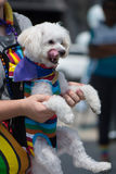 Bichon Frise dog wearing gay pride rainbow outfit licking lips. A bichon frise dog at San Diego& x27;s 2017 LGBT pride parade, dressed in rainbow clothing stock photography