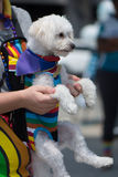 Bichon Frise dog wearing gay pride rainbow outfit. Bichon Frise wearing gay pride rainbow outfit at San Diego& x27;s gay pride parade. Held by a man holding his royalty free stock photography