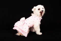 Bichon Frise Dog Wearing Valentines Dress Royalty Free Stock Photography
