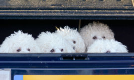 Bichon Frise dogs in boot of car Royalty Free Stock Photos
