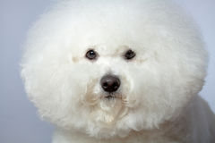 Bichon frise face Royalty Free Stock Image