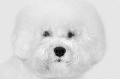 Bichon frise fluffy white dog. Close-up portrait of bichon frise fluffy white dog  on the gray background Stock Photography