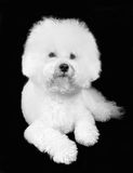 Bichon frise fluffy white dog Stock Photography