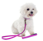 Bichon frise. In front of white background Stock Photo