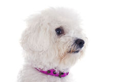 Bichon frise. In front of white background Stock Image