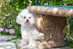 Bichon frise in garden Stock Photo