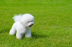Bichon frise. On a green grass outdoors Royalty Free Stock Photography