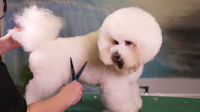 Bichon Frise Grooming at Pet Salon stock video