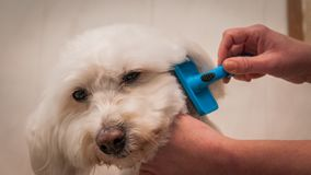 Bichon Frise Grooming Portrait royalty free stock image