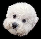 Bichon Frise Head Cutout Royalty Free Stock Images