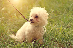 Free Bichon Frise In Park Stock Photography - 59870152