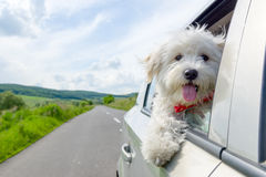 Bichon Frise Looking out of car. Window Royalty Free Stock Photos