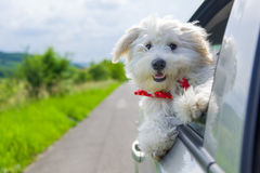 Bichon Frise Looking out of car window Royalty Free Stock Photos