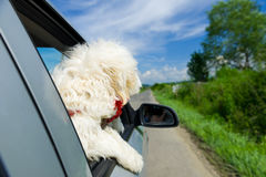 Bichon Frise Looking out of car window Stock Photos