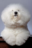 Bichon frise looking up Royalty Free Stock Photo