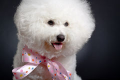 Bichon Frise looks adorable Stock Photography
