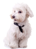 Bichon Frise Looks Handsome Stock Photography