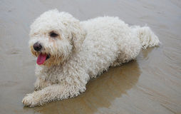 Bichon frise. My dog, a female bichon frise,  lying on the beach after a long walk Royalty Free Stock Photography