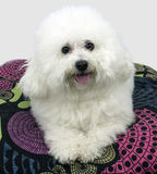 Dog Bichon Frise over white background sitting on a pillow Royalty Free Stock Image