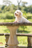 Bichon frise pies obraz stock