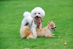 Bichon Frise and Pomeranian dogs. Playing together on the lawn Stock Photography