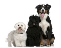 Bichon frise, Poodle and Bernese mountain dog Royalty Free Stock Photo