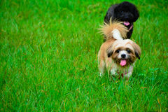 Bichon frise and Poodle dog Stock Image