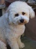 Bichon Frise Poodle Royalty Free Stock Image