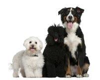 Bichon frise, Pudel- und Bernesegebirgshund Lizenzfreies Stockfoto