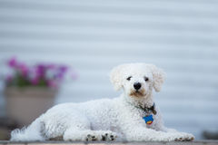 Bichon Frise Puppie Royalty Free Stock Photo