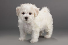 Bichon Frise puppies. On a gray background. Not isolated Stock Photos