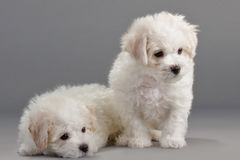 Bichon Frise puppies. On a gray background. Not isolated Royalty Free Stock Photography