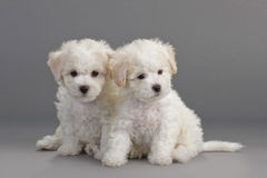 Bichon Frise puppies. On a gray background. Not isolated Stock Photo