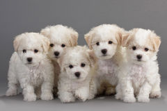 Bichon Frise puppies. On a gray background. Not isolated Stock Images