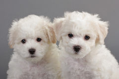 Bichon Frise puppies. On a gray background. Not isolated Stock Image