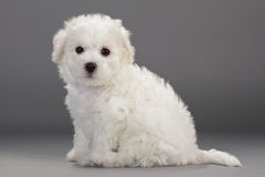 Bichon Frise puppies. On a gray background. Not isolated Royalty Free Stock Image