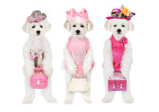 Bichon Frise puppies with hats and bags Royalty Free Stock Images