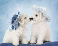 Bichon Frise puppies in hats. Two adorable Pure breed Bichon Frise puppies in hats in front of blue background Stock Image
