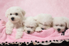 Bichon Frise puppies sleeping in the bed Royalty Free Stock Photos