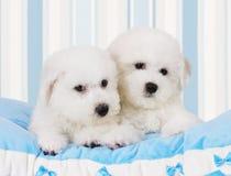 Bichon Frise puppies Stock Photo