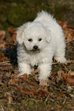 Bichon frise puppy. Close-up of a bichon frise puppy with a dirty snout Royalty Free Stock Photography