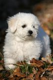 Bichon frise puppy. Frontal close-up of a standing bichon frise puppy Royalty Free Stock Photography
