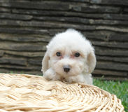 Bichon frise puppy. Pure breed bichon frise puppy on a basket Stock Photography
