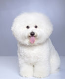 Bichon Frise puppy. On a gray background. Not isolated Royalty Free Stock Images